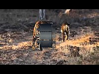 Tigress Gowri with four cubs